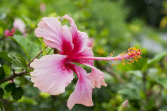 Beuatiful Pink chaina rose,hibiscus flower Stock Image