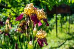 Beuatiful purpurrot und gelbe Iris, die im Garten wächst Lizenzfreie Stockbilder
