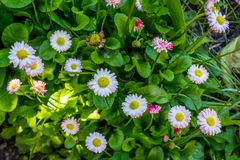 Beuatiful small daisies growing in the garden. During summer time Royalty Free Stock Photos