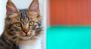 Beuaty, nice brown kitten with green eyes, long haired. Beuaty, nice brown kitten with green eyes, long haired stock photos