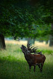 Beuglez le mâle adulte puissant majestueux de cerfs communs rouges dans la forêt verte, Dyrehave, Danemark photo libre de droits