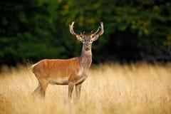Beuglez le mâle adulte puissant majestueux de cerfs communs rouges en dehors de la forêt d'automne, Dyrehave, Danemark images libres de droits