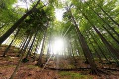 Beuk en Pijnbomen van bodemmening Stock Afbeelding