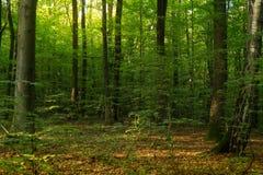 Beuk forestBeech bos Hoofd bos-zichvormt species van Europese bossen stock afbeelding