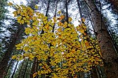 Beukbladeren in de recente Herfst stock fotografie