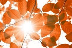 Beukbladeren en zonnestraal stock afbeelding