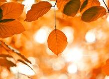 Beukbladeren en zonnestraal stock afbeeldingen