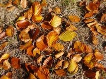 Beukbladeren in herfstkleuren stock foto