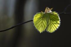 Beukbladeren, vers ontsproten voorboden van de lente Royalty-vrije Stock Foto