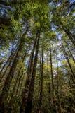 Beukbomen Stock Afbeeldingen