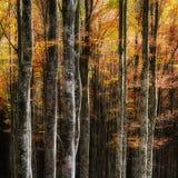 Beukbomen in de herfst Stock Afbeelding