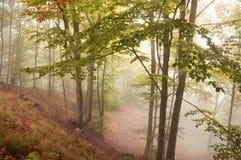 Beukbos in de herfst met mist Royalty-vrije Stock Foto's