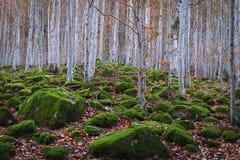 Beukbos tussen rotsen met mos in de herfst stock fotografie