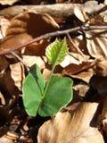 Beukjong boompje (Fagus-sylvatica) onder gevallen beukbladeren Stock Fotografie