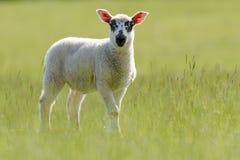 Beulah有斑点具有的羊羔在草原 库存图片