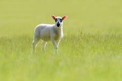 Beulah有斑点具有的羊羔在草原 图库摄影
