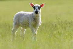 Beulah Speckled-Faced Lamb In Grassland Imagens de Stock