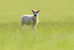 Beulah Speckled-Faced Lamb In Grassland Stock Photography