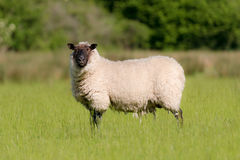 Beulah Speckled-Faced Sheep In Meadow. A Beulah Speckled-Faced Sheep looks at the camera standing in a meadow in Norfolk farmland spring 2014 Royalty Free Stock Photography