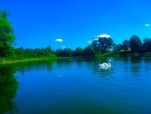 Beuthiful svan på den blåa sjön arkivbild