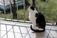 Beutiful cat. Beutiful black & white cat sitting in balcony Stock Image