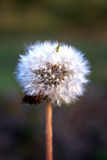 Beutiful dandelion on blurred background Royalty Free Stock Photo