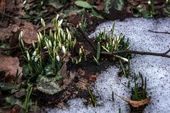 Beutiful first snowdrops closeup view. Spring landscape royalty free stock photography