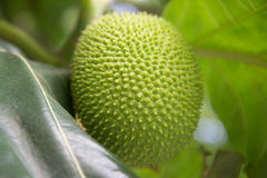 Beutiful green breadfruit. Royalty Free Stock Photography