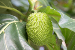 Beutiful green breadfruit. Stock Photos