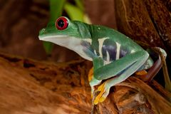 Beutiful red-eyed frog female. Beutiful green red-eyed frog female sit on the branch Stock Photos