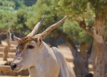 Beutiful head of antelope Royalty Free Stock Image
