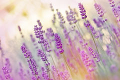 Beutiful lavender. In flower garden Royalty Free Stock Images
