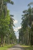 Beautiful long exotic line palm alley. Long way on beautiful  palm alley in national botany tropic park in Sri LAnka Stock Photos