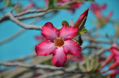 Beutiful pink  flower on tree. Beutiful pink flower on the tree with no leaves in front of swimming pool Stock Photography