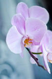 Beutiful pink orchid Stock Images