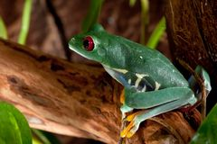 Beutiful red-eyed frog female. Sit pn the branch Royalty Free Stock Images