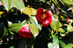 Camellia flowers. Beutiful red flowers`Camellia flowers Royalty Free Stock Photography