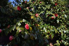 Camellia flowers. Beutiful red flowers`Camellia flowers Stock Photos