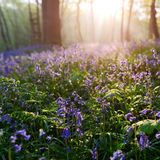 Beutiful sunrise in bluebells forest in springtime Stock Photos