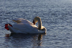 Beutiful swan is cleaning his feathers while swimming in the lake Stock Photography