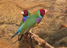 Gould`s finch or the rainbow finch Erythrura gouldiae. Beutiful Tropic Bird, Lady Gouldian finch, Gould`s finch or the rainbow finch Erythrura gouldiae royalty free stock photography