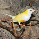 Gould`s finch or the rainbow finch Erythrura gouldiae. Beutiful Tropic Bird, Lady Gouldian finch, Gould`s finch or the rainbow finch Erythrura gouldiae royalty free stock images