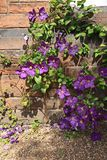 Beutiful violet clematis Royalty Free Stock Photography