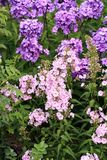 Beutiful, violet phlox flowers. Herbs in a home, perennial garden, friendly to insects, especially for bees Stock Photos