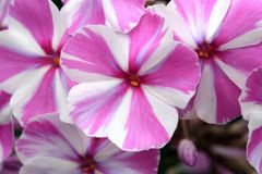 Beutiful, violet phlox flowers. Herbs in a home, perennial garden, friendly to insects, especially for bees Stock Photography