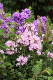Beutiful, violet phlox flowers. Herbs in a home, perennial garden, friendly to insects, especially for bees Stock Image