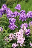 Beutiful, violet phlox flowers. Herbs in a home, perennial garden, friendly to insects, especially for bees Royalty Free Stock Images