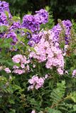 Beutiful, violet phlox flowers. Herbs in a home, perennial garden, friendly to insects, especially for bees Stock Images