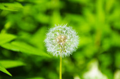 Beutiful white dandelion on morning sun. Without leaves Royalty Free Stock Photo