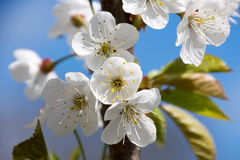 Beutiful white flowers in spring Stock Images